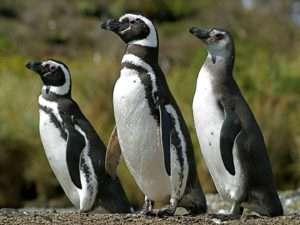 Manchots de Patagonie