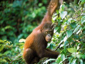 Borneo OrangOutan