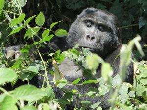 Bwindi gorilles