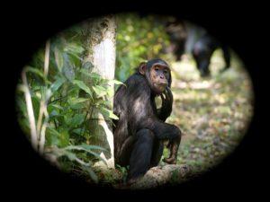 Kibale chimpanzé