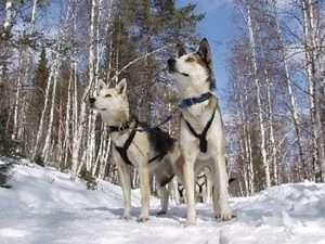 Huskies au Lac Baikal