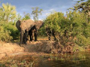 Bord du Zambèze éléphant
