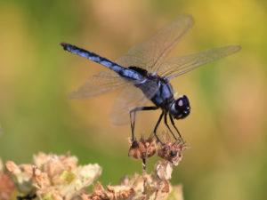 Insecte Chobe