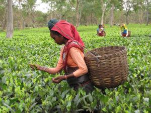 Récolte de thé dans l'Assam