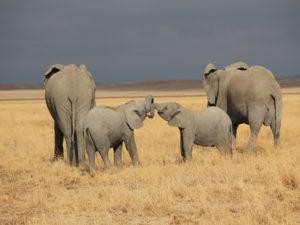 Amboseli Éléphant