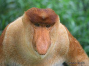 Borneo-Singe Proboscis