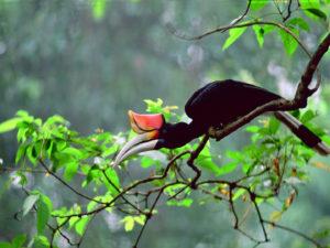 Bornéo - Hornbill