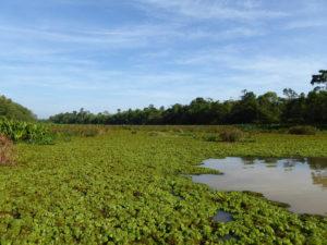 Kinabatanban - Mangrove