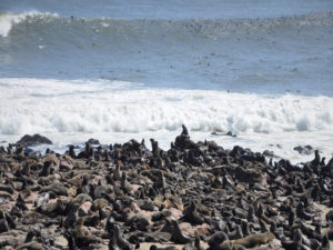Cape Cross - otaries