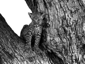 bébé léopard