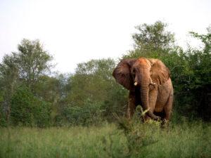 Singita Pamushana Elephant-4